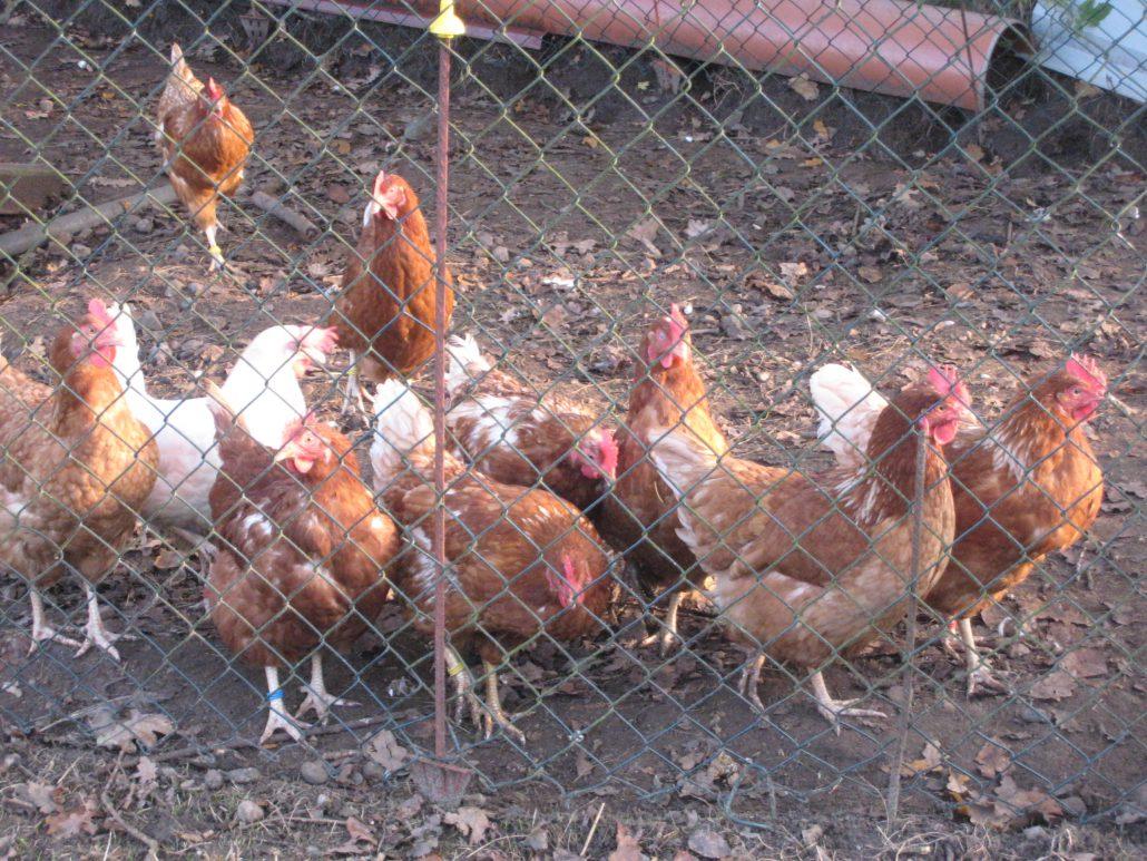 Unsere fleissigen Eierlieferanten